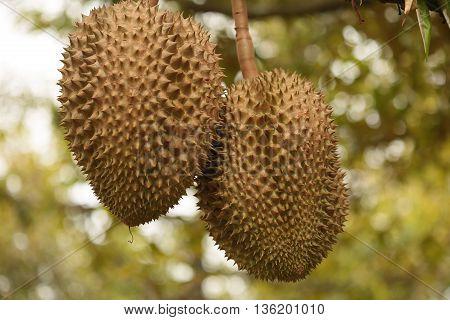 Durian fruit Thailand  durian./Fresh durian on durian tree