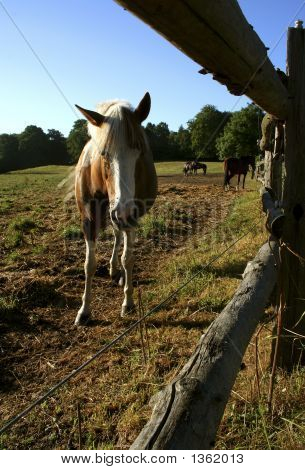 Looking Horse