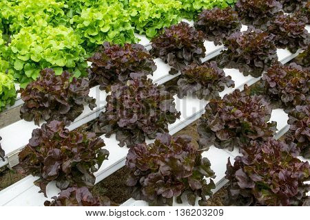 Hydroponic vegetables growing in greenhouse. hydroponic, farm, green,