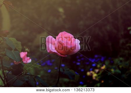 Beautiful pink rose on a background of blue flowers
