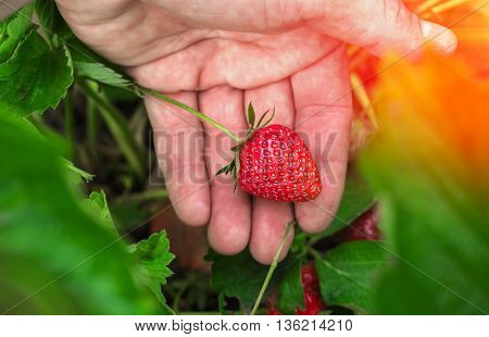 ripe strawberry in the garden on the palm in the sunset