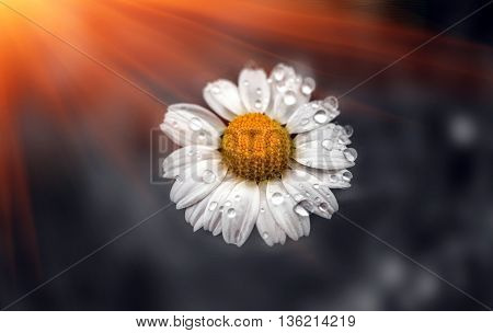 wild daisy flower with drops of morning dew at sunrise
