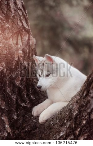 Dog. Portrait on the tree in outdoor. Portrait of Siberian Husky