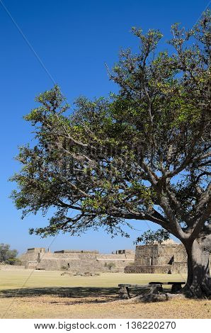 Monte Alban pyramids behind green tree in Mexico