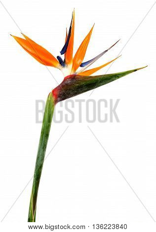 Bird of Paradise Flowers Isolated on a White Background