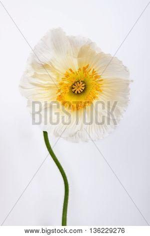 poppy flower isolated on white background. flower .