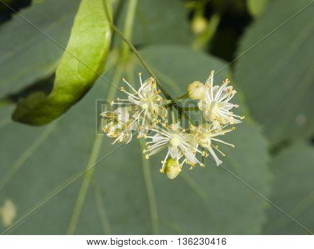 Small-leaved lime or littleleaf linden Tilia cordata flowers macro selective focus shallow DOF