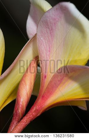 Hawaii lei with yellow and pink texture coloration, macro.