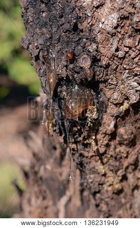 tree sap resin dropping from tree bark