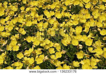 small yellow flowers blooming in the garden