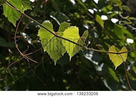 green leaves of grapes in the garden