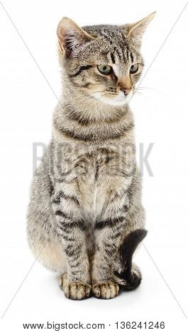 Small gray kitten isoated on white background.