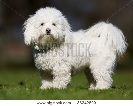Coton De Tulear Dog Outdoors In Nature