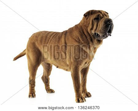 Shar Pei Staying In The White Studio