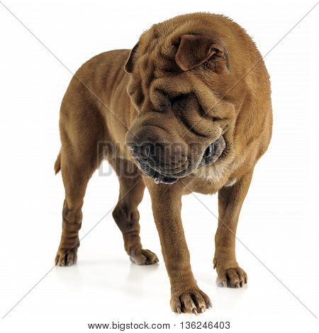 Shar Pei Looking Down In The White Studio