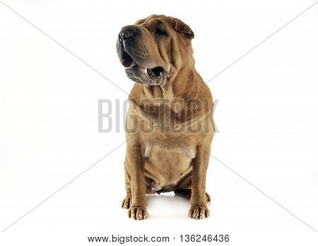 Shar Pei Sitting  In The White Studio And Looking Left