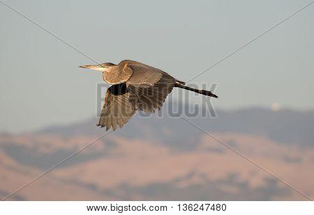 Great Blue Heron (Ardea herodias) in flight; Alviso, CA