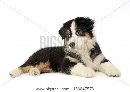 Puppy Australian Shepherd Lying In The Whte Studio Floor