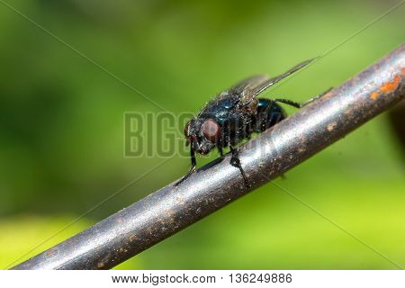 Calliphoridae sitting on a metal wire on a green background