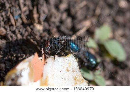 two fly blowflies on the ground eating