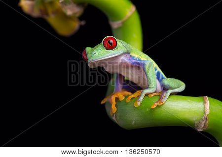 Red-Eyed Amazon Tree Frog (Agalychnis Callidryas) on twisted bamboo