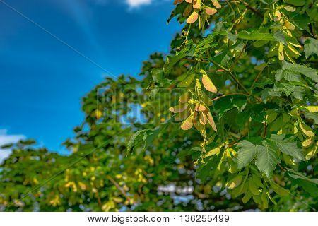 winged sycamore seeds on tree in Germany