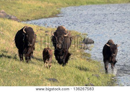 a group of buffalo run along the shore