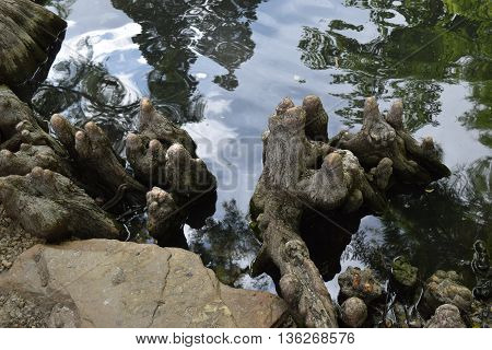 the roots, stumps,skies and clouds reflect in a pond