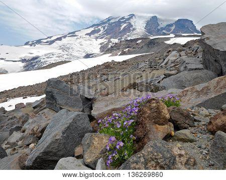 Purple alpine flowers Sky Pilot blooming on rocks.  Camp Muir Mount Rainier National park Seattle Washington USA.