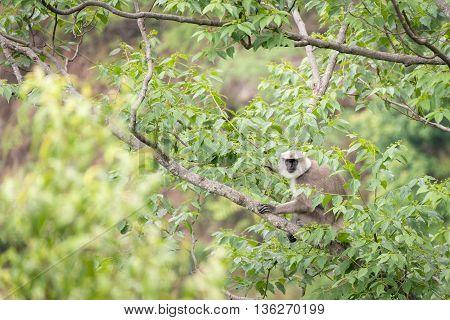 Gray langur or Hanuman langur on the tree.