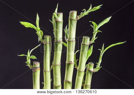 Lucky bamboo Dracaena sanderiana in a traditional porcelain pot