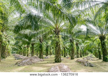 Matured Oil Palm Trees Rows of Oil Palm Plantation.