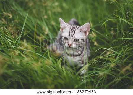 Cute American Short Hair kitten playing on green grass