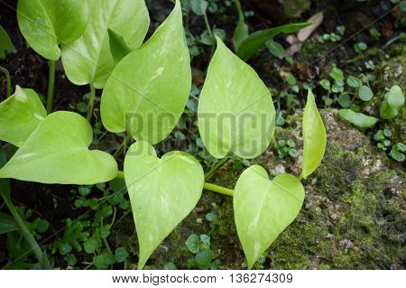fresh epipremnum aureum plants in nature garden