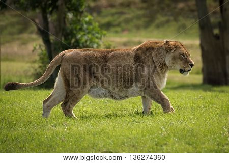 A full image of a lioness on the prowl walking and alert