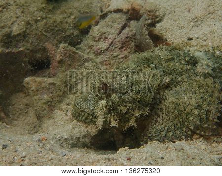 Scorpion fish or stone fish in the coral reef
