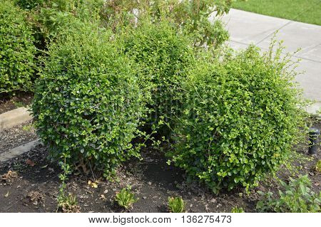 fresh green Carmona retusa plants in nature garden
