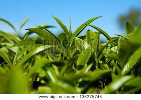 Tea leaf background tea leaves on agriculture plantation at Dalat Vietnam tealeaf is healthy drinking good for health