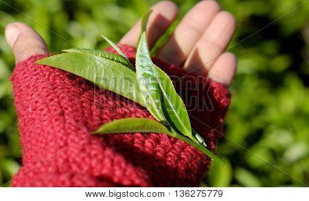 Woman Hand Pick Tea Leaf