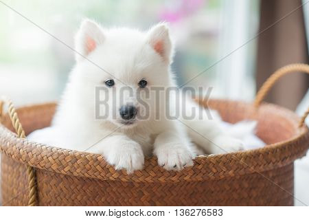 White siberian husky puppy lying in a basket