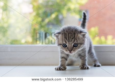 Beautiful little tabby kitten on a window sill. Scottish Fold breed.