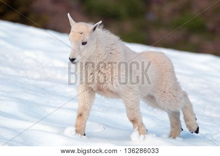 Baby Mountain Goat in Olympia National Park snowfield in Washington State USA