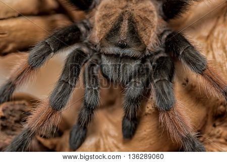 extremely close up image of a tarantula spider macro