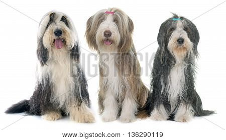 three bearded collie in front of white background