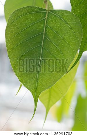 bothi tree pipal tree leaves as background