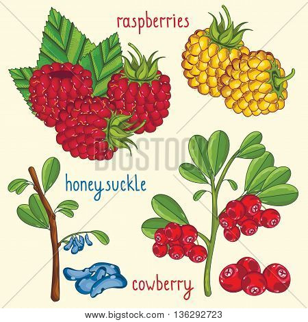 Set of berries mix vector isolated. Healthy eat. Raspberry, honeysuckle, cowberry. Natural organic berries. Ingredients for a vegetarian food. Sweet and ripe summer berries. Wild berries. Isolated raspberry and honeysuckle.