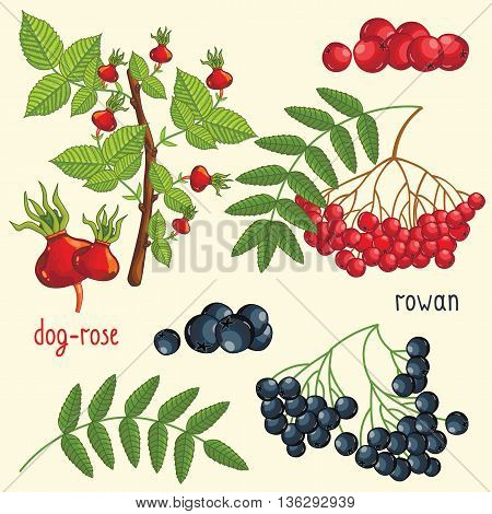 Set of berries mix vector isolated. Healthy eat. Dog rose, rowan. Natural organic berries. Ingredients for vegetarian food. Sweet and ripe summer berries. Isolated dog rose and rowan. Wild berries.