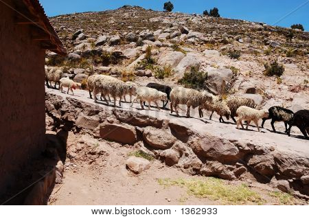 Sheep From Tequile Island On Lake Titicaca, Peru