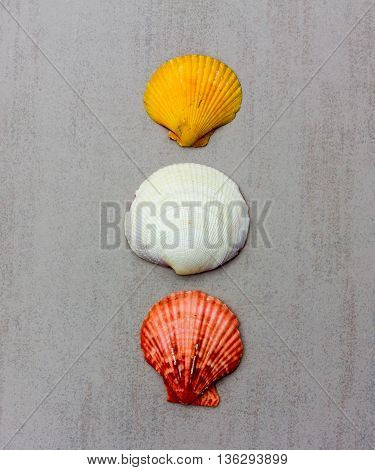 three multi-colored seashells clam mollusc on a gray background closeup top view