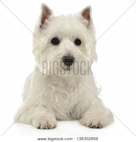 West Highland White Terrier Lying On The White Studio Floor